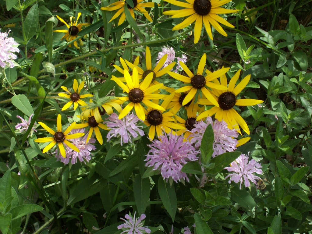 Gardeners can plan ahead for summer at the UU plant sale: Bee Balm and Black-eyed Susan mid July.