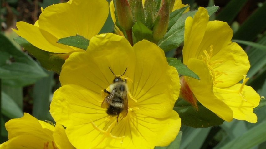 Evening Primrose indulging a bumblebee.